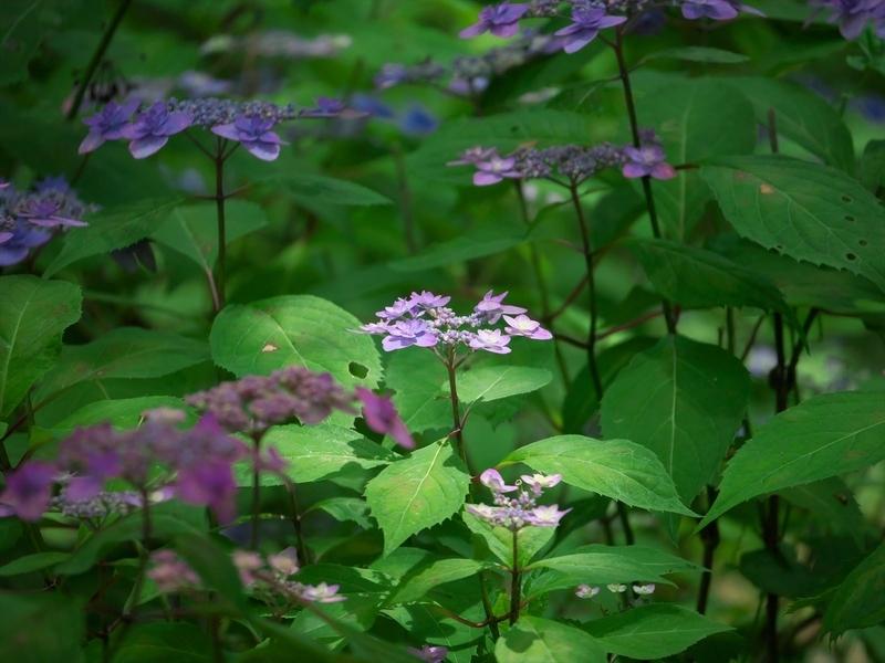日を浴びるヤマアジサイ@京都府立植物園