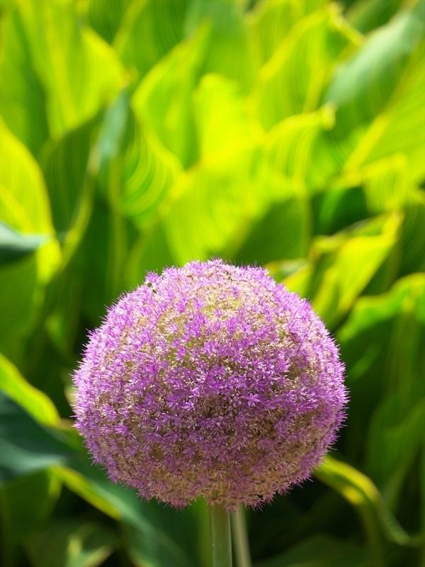 紫葱坊主@京都府立植物園