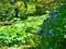 日陰に咲く紫陽花@京都府立植物園