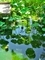 緑の傘@京都府立植物園