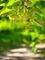 葉陰に咲く菩提樹@京都府立植物園