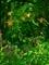 ノカンゾウとホタルブクロ@京都府立植物園