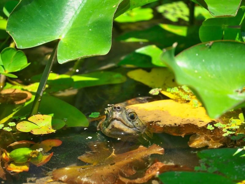 池の主@京都府立植物園
