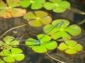 クロイトトンボ(?)2@京都府立植物園