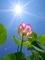 太陽に向かって咲く@京都府立植物園