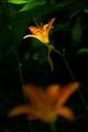 ひっそりと咲くノカンゾウ@京都府立植物園