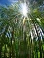 竹林に降り注ぐ太陽光@京都府立植物園