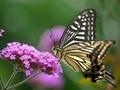 蜜を吸うアゲハチョウ@京都府立植物園