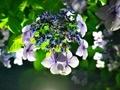 夜の紫陽花2@一乗寺