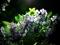 夜の紫陽花3@一乗寺