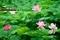 ハスの咲く頃@京都府立植物園