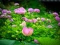 紫陽花をバックに咲くハス@京都府立植物園