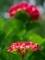 赤い紫陽花@京都府立植物園