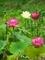 赤いハス白いハス@京都府立植物園