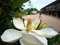 大きな大きなタイサンボク@京都府立植物園