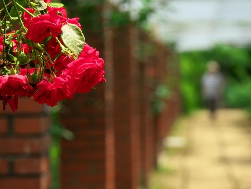 斜め上からバラの花@京都府立植物園