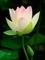 開いたハス花とつぼみ@京都府立植物園