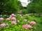 智積院の紫陽花2