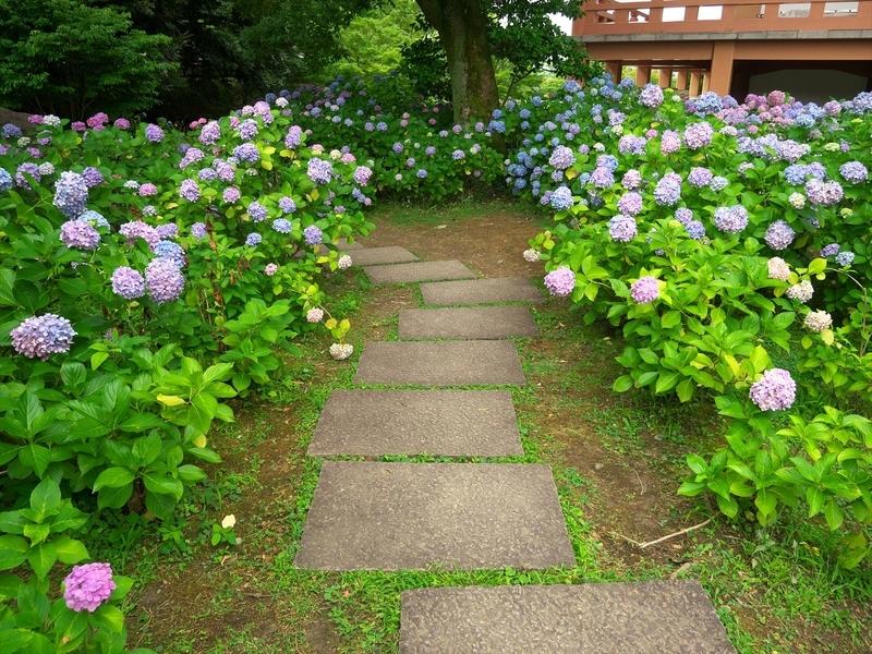 智積院の紫陽花3