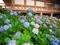 智積院の紫陽花4