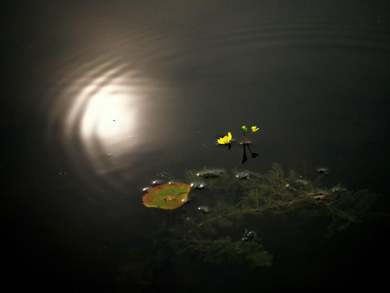 水面に咲く@深泥池