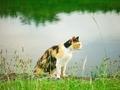 三毛猫の横顔@賀茂川