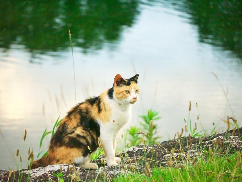 河原の三毛猫2@賀茂川