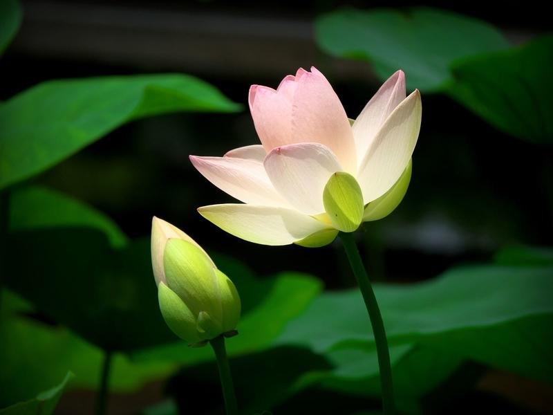 蕾から開花@京都府立植物園
