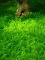 緑の羊歯の海@京都御苑