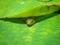 蓮葉の下からこんにちは@京都府立植物園