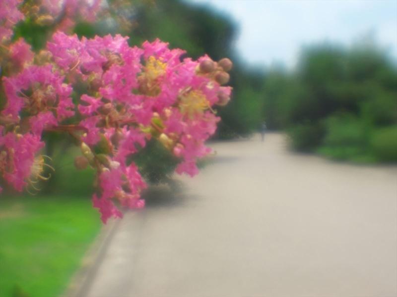 百日紅咲く頃@京都府立植物園