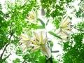 山百合の咲く頃@京都府立植物園