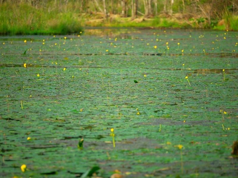 コウホネ咲く深泥池
