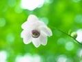 レンゲショウマ@京都府立植物園