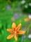 ヒオウギ@京都府立植物園