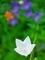 キキョウ@京都府立植物園