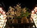 山桜と松@黒主山