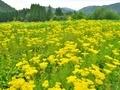 京都越畑のオミナエシ