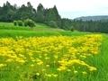 オミナエシ咲く越畑の棚田