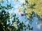 水面に写るタイタンビカス@京都府立植物園