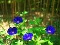 あさがお@京都府立植物園