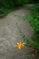 忘れ草咲く道@京都府立植物園