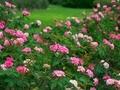 夏のバラ園@京都府立植物園