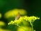 オミナエシの花とベニシジミ@京都府立植物園