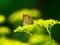 オミナエシの花とベニシジミ2@京都府立植物園
