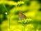オミナエシの花とベニシジミ3@京都府立植物園