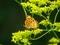 オミナエシの花とツマグロヒョウモン@京都府立植物園