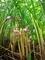ナンバンギセル花盛り@京都府立植物園