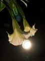 夜に咲く@京都府立植物園
