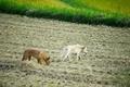 野犬2匹@京都樒原